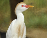 1070g_cattle_egret