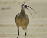 long-billed curlew BRD6181.jpg