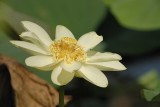 lotus SCO0754.jpg