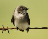 rough-winged_swallow_SCO6898.jpg