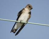 rough-winged_swallow_SCO7014.jpg