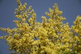 golden raintree SCO6466.jpg