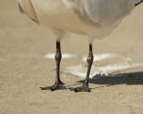 sandwich tern SCO7151.jpg