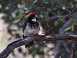 IMG_8454 Acorn Woodpecker - male.jpg