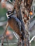 IMG_9732 Arizona Woodpecker - female.jpg