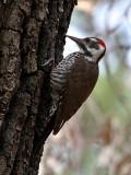 IMG_5294 Arizona Woodpecker male.jpg