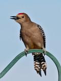 IMG_7489 Gila Woodpecker - male.jpg