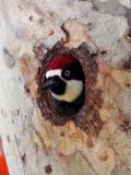 IMG_0585 Acorn Woodpecker - male.jpg