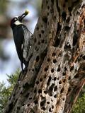 IMG_5270 Acorn Woodpecker.jpg