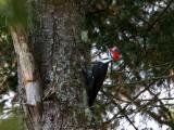 IMG_0282 Pileated Woodpecker male.jpg