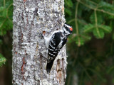 IMG_9542 Hairy Woodpecker male.jpg