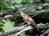 IMG_0588 Northern Flicker - yellow-shafted.jpg