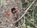 IMG_7478 Northern Flicker - Yellow-shafted .jpg