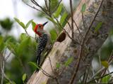 IMG_6065 Red Bellied Woodpecker - male.jpg