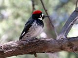IMG_1359  Acorn Woodpecker - female.jpg