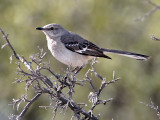 IMG_9427  Northern Mockingbird.jpg