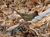 IMG_0957 Green-tailed Towhee.jpg