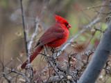 IMG_2039 Northern Cardinal.jpg