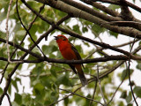IMG_3854 Flame-colored Tanager.jpg