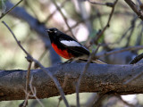 IMG_8043 Painted Redstart.jpg