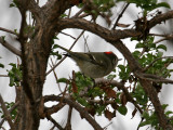 IMG_0915 Ruby-crowned Kinglet.jpg