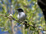 IMG_2659 Black-capped  Gnatcatcher.jpg