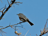 IMG_1583 Blue-gray Gnatcatcher.jpg
