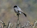 IMG_2606 Black-tailed Gnatcatcher.jpg