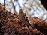 IMG_3845 Gila Woodpecker - female.jpg