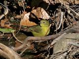 IMG_2552 Orange-crowned Warbler.jpg