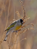 IMG_2736 Lawrence's Goldfinch.jpg