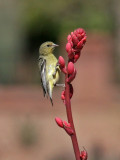 IMG_4137 Lesser Goldfinch.jpg