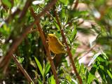 IMG_2758 Yellow Warbler.jpg