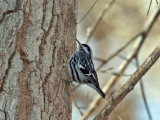 IMG_4057 Black and  White Warbler.jpg
