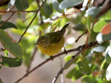 IMG_2119 Orange-crowned Warbler.jpg