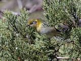 IMG_4365 Olive Warbler.jpg