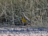 IMG_7011 Western Meadowlark.jpg