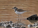 IMG_7573 Killdeer.jpg
