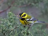 IMG_4925 Townsend's Warbler.jpg