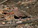 IMG_2558 Common Ground Dove.jpg