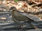 IMG_4035 White-winged Dove.jpg