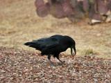 IMG_0494 Raven.jpg