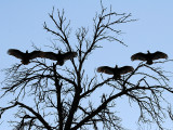IMG_2620 Turkey Vultures.jpg