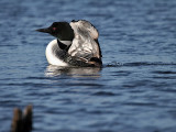 IMG_1118 Common Loon.jpg