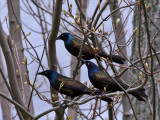 IMG_0337 Common Grackles.jpg