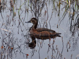 IMG_0321 Ring-necked Duck female.jpg