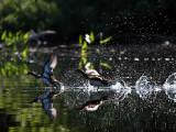 IMG_2770 Exploding Ducks.jpg