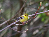 IMG_0224  American Goldfinch.jpg