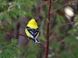 IMG_0213  American Goldfinch.jpg