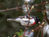 IMG_0150 Rose-breasted Grosbeak.jpg